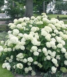 schneeball hortensie quot annabelle quot 1 pflanzen hortensien