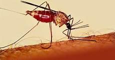 Gambar Nyamuk Anopheles Betina Nyamuk Malaria Contoh