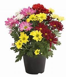 pflanzen niedrigere klassifizierungen chrysantheme sixties dehner