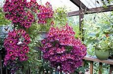 plante terrasse plein soleil plantes retombantes 224 fleurs et vivaces pour un ext 233 rieur