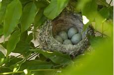 welcher vogel baut welches nest stieglitz oder distelfink lbv gemeinsam bayerns natur