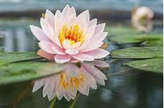 Lotus Flower Meaning And Significance All The World