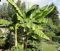 die bananenstaude tr 228 gt dieses jahr so viele fr 252 chte wie