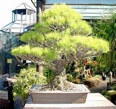 Wie Kann Ich Mir Einen Bonsai Baum Selbst Z 252 Chten