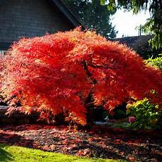 Orangeola Japanese Maple For Sale The Tree Center