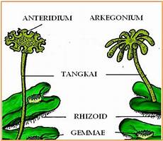 Metagenesis Tumbuhan Lumut Dan Paku Lengkap Dengan Gambar