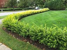 pflanzen für hecke caring for hedges bobbie s green thumb