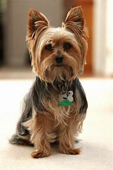 yorkie haircuts 50 damn cute yorkie haircuts for your puppy hairstylec