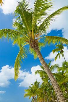 Hawaiian Tropical Palm Tree by Tropical Palm Tree Free Stock Photo Domain Pictures