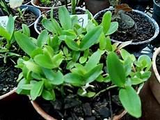 deflasking orchid seedlings