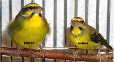 Tips Cara Merawat Burung Sirtu Agar Cepat Gacor Dengan Mudah