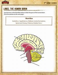 label the human brain view 4th grade science worksheet sod