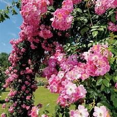 rosiers grimpants anciens les rosiers grimpants et lianes anciens roses guillot