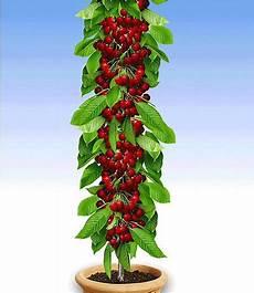 Obstbäume Günstig Kaufen - s 228 ulen kirsche quot stella quot 1 pflanze g 252 nstig kaufen