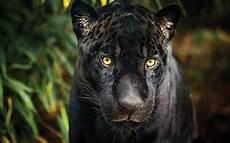 jaguar animal noir adopt a black jaguar symbolic animal adoptions from wwf