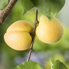 abricotier bergeron taille en quenouille pot de 10 l