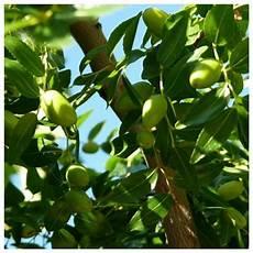 Paling Keren 14 Gambar Daun Pohon Zaitun Richa Gambar