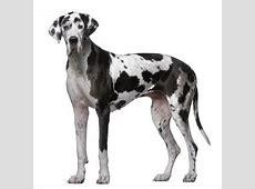 Duitse dog (Great Dane)   OMyDog