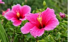 Hibiscus Flower Backgrounds wallpapers pink hibiscus flower wallpapers