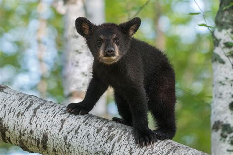 Black Bear Cubs Rescued After Mom Killed By Truck
