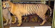 Gambar Foto Hewan Foto Terakhir Harimau Jawa