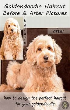 goldendoodle haircuts goldendoodle grooming timberidge goldendoodle grooming goldendoodle haircuts goldendoodle grooming labradoodle grooming