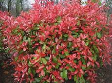 arbuste feuillage persistant arbustes 224 feuillage persistant jardinerie riera