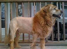 top 11 lion dog haircut looking great and bad glamorous dogs