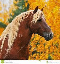 chesnut pferd im herbst stockfoto bild reinrassig
