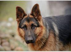 Duitse herdershond (puppy info, geschiedenis, karakter