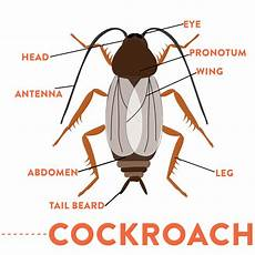 What Does A Cockroach Look Like Identify Cockroaches With