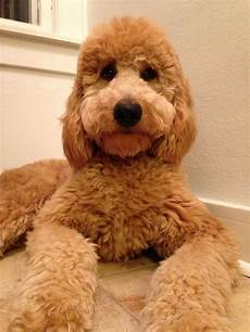 image result for types of goldendoodle haircuts cute pin on golden doodles