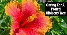 hibiscus tree how to grow and care for a hibiscus plant