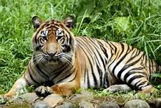 Gambar Foto Hewan Kumpulan Foto Harimau Sumatra