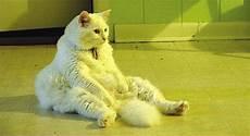 Comelnya Kucing Ini Siap Duduk Macam Manusia Lagi Aku