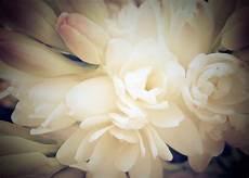 tuberose fiori fiori bianchi 10 splendide tuberose anthoscents