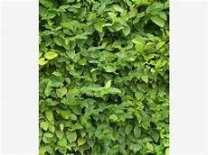 schnell wachsender sichtschutz sichtschutz die 12 besten heckenpflanzen garten heckenpflanzen schnell wachsende b 228 ume und