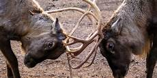 why deer antlers don t break when they fight business