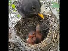 Cara Indukan Burung Ngasih Makan Dan Membersihkan Kotoran