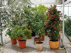 mediterrane pflanzen 252 berwintern winterschutz f 252 r s 252 dl 228 nder