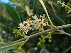 fiori di ulivo fioritura olivo concime fioritura olivo giardinaggio