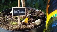 Kirschbaum Pflanzen Anleitung Tipps Vom Profi Plantura