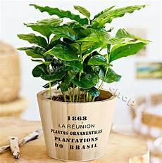 Coffee Plant 10 Seeds Tropical Coffee House Plant