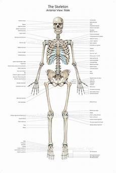 human skeletal system diagram labeled images of the skeletal system without labels wallpaperzen org