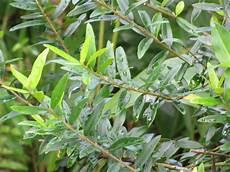 olivenbaum schneiden zeitpunkt experten anleitung
