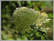 hortensie mit langbein foto bild pflanzen pilze