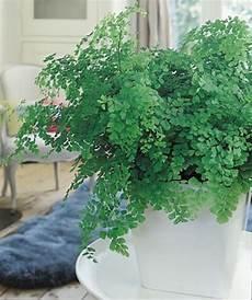 Pflanzen Für Dunkle Ecken In Der Wohnung - 11 zimmerpflanzen f 252 r dunkle ecken zimmerpflanzen