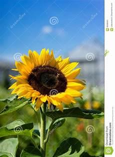 sonnenblume mit biene und haus im hintergrund mit blauem