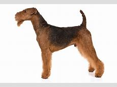 Airedale Terrier Dog Breed Information