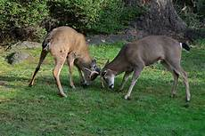 do female deer have antlers species that do don t
